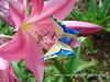 Alexander Swallowtail E Alexander Aztec Swallowtail