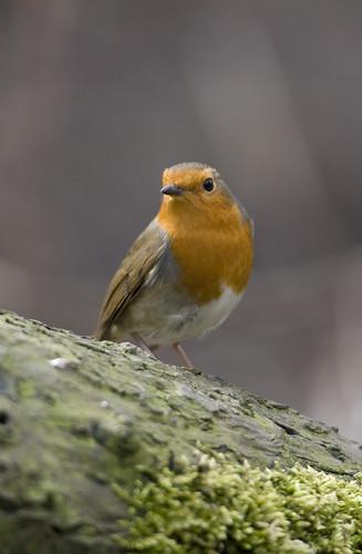 Robin (Erithancus rubecula)