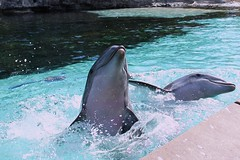 Dolphin Cove at SeaWorld FL (Seals4Reals) Tags: world show park blue sea baby aquarium orlando marine florida dolphin united malia believe killer whale orca states seaworld calf kayla katina horizons bottlenose nalani trua lesquish