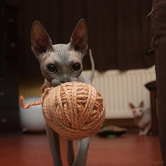 Yarn 01 (dracorubio) Tags: proud cat ball yarn pixel sphynx fetch sphynxcat nakedcat thecatwhoturnedonandoff