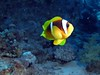05-04-2010 15-30-25 (Key of Life) Tags: life africa camera blue sea vacation fish macro uw nature water coral digital photo nikon marine paradise mare underwater nemo little photos blu clown sub redsea dive egypt sharmelsheikh deep scuba diving clownfish anemone coolpix aquatic biology depth egitto anemonefish maggio 2010 pesce immersioni pagliaccio corallo naturalmente fotosub subacquea wetpixel keyoflife amphiprionbicinctus pescepagliaccio underwaterpics passionphotography golddragon fondali mywinners superbmasterpiece twobandanemonefish diamondclassphotographer flickrdiamond fotosubacquee naturephotoshp brillianteyejewel naturewatcher coolestphotographers theperfectphotographer goldstaraward p5100