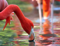 Flamingo Flair (ozoni11) Tags: reflection animal animals reflections zoo washingtondc dc washington nikon flamingo flamingos nationalzoo zoos d300 naturesfinest washingtonnationalzoo specanimal michaeloberman ozoni11