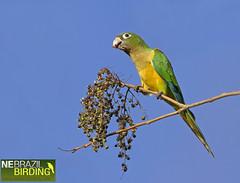 Cactus Parakeet - Aratinga cactorum