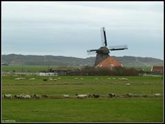 Op een holletje (mefeather) Tags: autumn trees sky mill nature animals clouds barn landscape bomen sheep farm herfst nederland thenetherlands natuur wolken lucht dieren molen landschap noordholland boerderij schuur schoorl schaap groet supershot nederlandvandaag