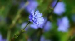 Chicorée bleue (mamietherese1) Tags: world100f floralessence ngc phvalue autofocus