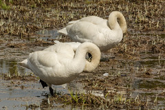 Talk about shy (ChicagoBob46) Tags: trumpeterswan swan bird yellowstone yellowstonenationalpark nature wildlife ngc coth5