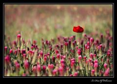 Le solitaire (Le Dieu of Volcanoes) Tags: fleur flower nature bokeh vegetal flore flora colors printemps spring auvergne puydedome france europe canon eos70d google flickr macro red rouge solitaire coquelicot poppy