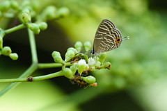 20170620-EM120413 (shutterblades) Tags: bukittimahnaturereserve butterflies hindhedenaturepark insect moth olympusem1mkii olympusmzuiko300mmf4pro