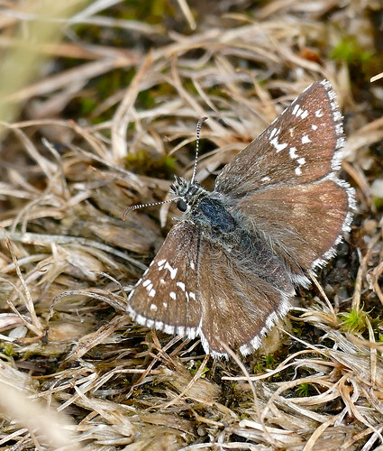 Grizzled Skipper (Pyrgus sp.)