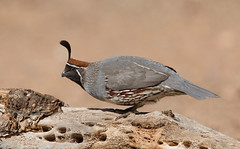 Gambel,s Quail male Elephant head pond az. (mandokid1) Tags: canon canon500f4 1dx birds arizona
