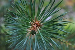 The beauty of simplicity. (♥ Corry ♥) Tags: macro tree pine green spring nature dennenboom dennenappel boom groen lente natuur canon simplicity eenvoud