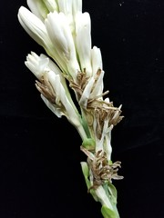 Tuberose (Polianthes tuberosa): Thrips feeding injury to flower (Scot Nelson) Tags: tuberose polianthes tuberosa thrips feeding injury flowers flower hawaiiensis necrosis