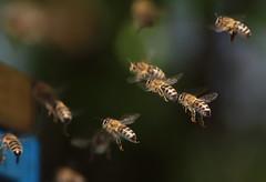 Bee (Klaus R. aus O.) Tags: biene flügel honig fliegen nahrung insekt klein wichtig hintergrund bee wing honey fly food insect small important background