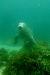 (mhyoannis) Tags: plongée bretagne finistère iroise photosousmarine photographiesousmarine mer ocean
