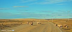 Pampa (YellowSingle 单黄) Tags: pampa lowland patagonia argentina sheep