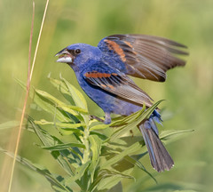 Swaying in the wind (tresed47) Tags: 2017 201706jun 20170629bombayhookbirds birds bluegrosbeak bombayhook canon7d content delaware folder grosbeak june peterscamera petersphotos places season spring takenby us ngc
