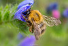 CommonCarderBee-0001.jpg (vorneo) Tags: bumblebee classinsecta kingdomanimalia wild speciesbpascuorum bee commoncarderbee familyapidae carderbee phylumarthropoda binomialnamebombuspascuorum insect orderhymenoptera genusbombus
