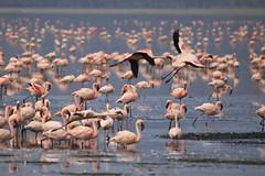 Flamingos in flight at Lake Nakuru (mikel.hendriks) Tags: africa birds geotagged kenya wildlife flight flamingos explore soda algae alkaline frontpage riftvalley lakenakuru canoneos50d sigma120400mmf4556apodgoshsm