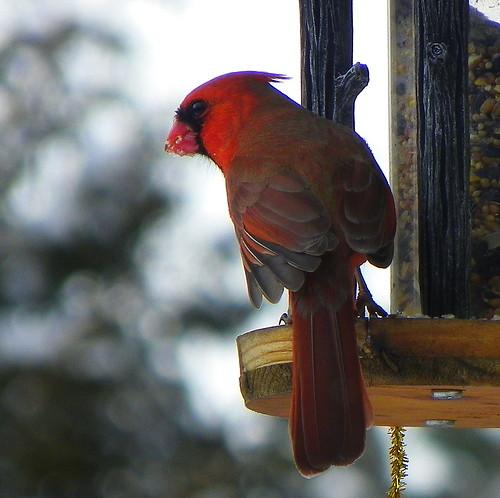 Male Cardinal Feeding