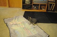 20100109_4 (sensitivebunnyguy) Tags: dwarf lopear netherlanddwarfrabbit cutebunnies cuterabbits cuterabbitphotos cutebunnyphotos bunnyvideos