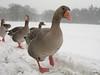 Grauwe ganzen in sneeuwbui (katjekip) Tags: winter sneeuw grauweganzen parkdehogeveluwe