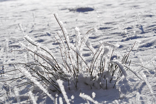 iced sedge