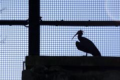 DSC_2212 (thi.g) Tags: schönbrunn bird silhouette zoo nikon cage thig d90 thilogierschner
