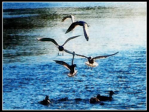 Uccelli in volo sul Bisenzio
