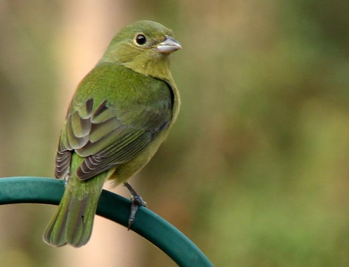 Green Painted Bunting