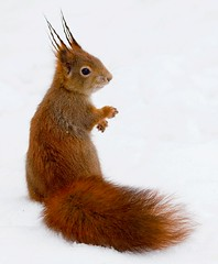 Red squirrel, the animation (Geoffrey Gilson) Tags: red squirrel animation animated gif roux ecureuils