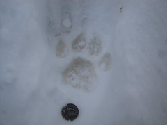COUGAR TRACK (Aquila-chrysaetos) Tags: mountains utah wasatch tracks northamerica felines puma mammals panther tracking mountainlion carnivores catamount wasatchmountains concolor