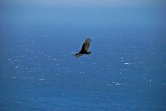 Flying High (Paul Gaither Photography) Tags: ocean california travel sea bird beach birds surf bigsur highway1 raptor pacificcoast seabird pacificcoasthighway californiahighway1 cabrillohighway d80 nikond80