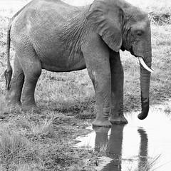 _IGP2158 (orang_asli) Tags: africa elephant nature pool animals river tanzania mammal nationalpark eau champs rivière fields elefant tarangire lieux bassin étang afrique mammifère aficionados faune naturel tanzanie savane parcnational géographie rivire mammifre elephantdafrique žtang gžographie