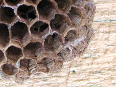 Wasp nest closeup