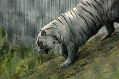 Livin' Large (John 3000) Tags: animals hawaii lasvegas tigers hi animales bigisland hilo zoos tigres panaewarainforestzoo