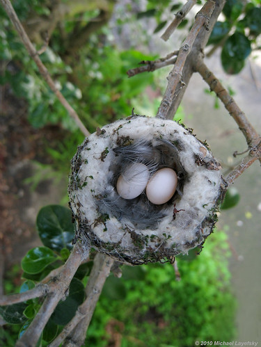 Anna's hummingbird eggs in nest
