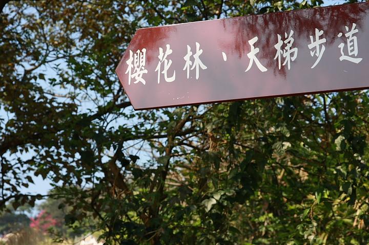 樹林大同山青龍嶺的櫻花林0005