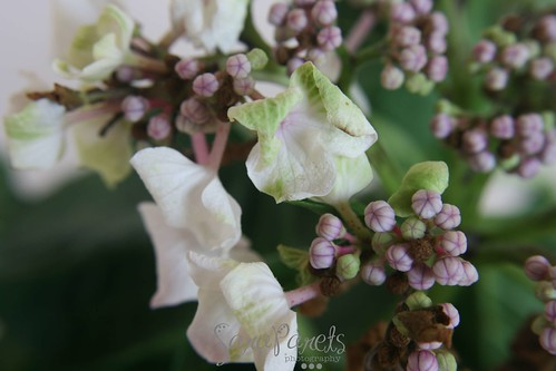 Close up hydrangea