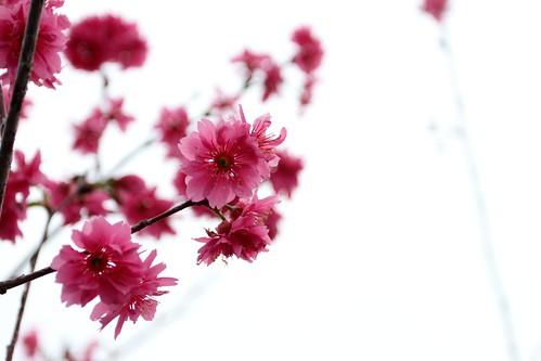 南投服務區的八重櫻 (by PipperL)