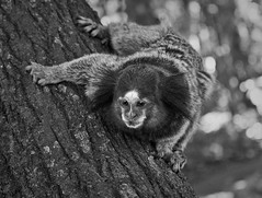 O macaco aparecido (frangosbar) Tags: brazil abstract black amigos tree art animal animals brasil canon wonderful bonito 300mm asa xs arvore mestre animais brasileiro bicho  frango funin freebits 1000d frangosbar