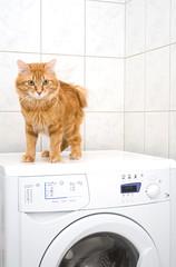 Kurilian bobtail on washing machine