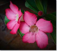 sweet sweet life (arnistm) Tags: soe bej fantasticflower anawesomeshot flowersarefabulous awesomeblossoms kunstplatzlinternational
