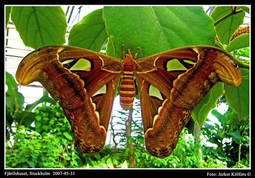 Atlasspinnare (Attacus atlas)