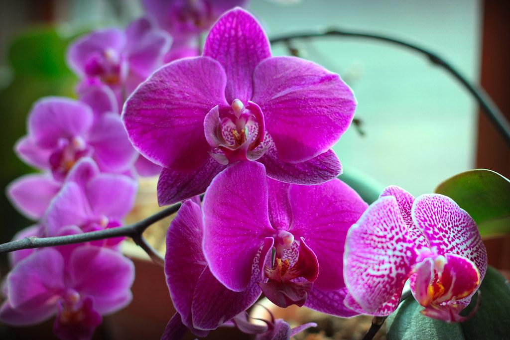 orchids 065x