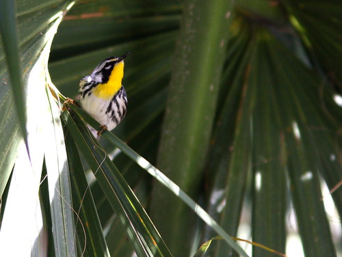Yellow-throated Warbler 20100301