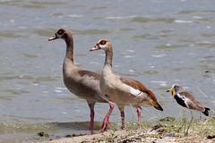 Egytian Geese &  White Crowned Lapwing (Hector16) Tags: africa bird tanzania safari selous alopochenaegyptiaca vanellusalbiceps selousnp