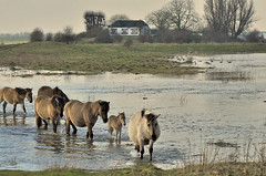 High tide (Jan Visser Renkum) Tags: horses hightide paarden deblauwekamer koniks hoogwater nederrijn utrechtslandschap uiterwaardennederrijn
