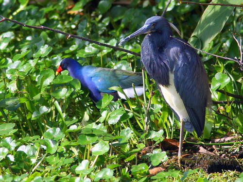 Gallinule and Tricolored Heron 20100301