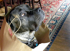 dog chien english bag march sweet mastiff molly huge 2010 ktylerconk