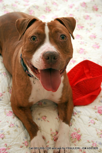 Pit Bull Hiking - Fraulein ID# A331920